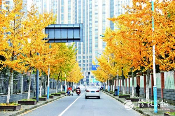 临平雪海路上的银杏大道 不容错过的那一抹金黄!